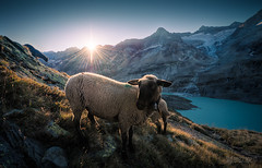~ Gauli Glacier: Sheep portrait ~ (dmkdmkdmk) Tags: morning lake mountains alps ice sunrise switzerland nikon sheep swiss glacier hdr d700 gauliglacier gauligletschergletscherzungesonnenaufgangschafe