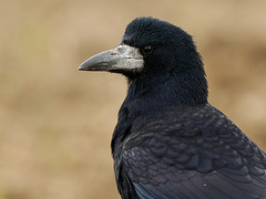 Rook (Corvus frugilegus) (m. geven) Tags: black bird nature animal fauna shine native natuur crow rook common zwart dier avian corvusfrugilegus vogel songbird avifauna gelderland algemeen foraging nld corvidae jaarvogel liemers akker zangvogel roek oostnederland inheems stoppelveld bouwland kraaiachtige corbeaufreux metaalglans fourageren standvogel foerageren gemeentezevenaar kolonievogel saatkrahe talrijk nederlandthenetherlandsnlnldniederlande