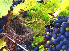 A nest (tracydekalb) Tags: nest wine harvest grapes grapevine vinyard