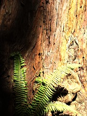 Sequoia and Fern (Mike Schaffner) Tags: california trees muirwoods redwood sequoia