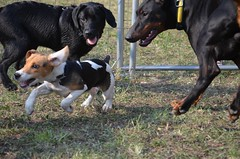 Sun [where do you going?] (alfio.biz) Tags: dog sun beagle dogs cane puppy doberman cucciolo cani