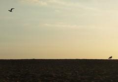 Por aire y tierra. (ernest404) Tags: sky españa contraluz golden spain sand seagull pals cel catalonia cielo catalunya gaviota backlighting dorado daurat baixempordà mygearandme