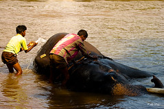 Water for elephants (Kals Pics) Tags: travel people india elephant tourism water animal river nikon care karnataka kaveri coorg dubare elephantcamp kodagu d40 waterforelephants 70300mmvr kalspics