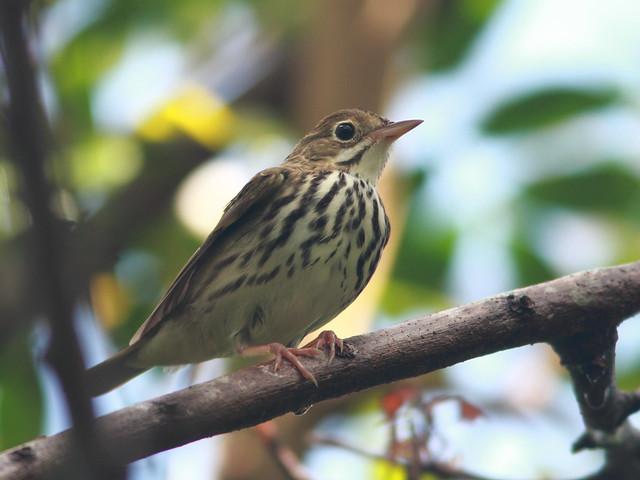 Ovenbird 5-20110919