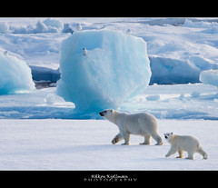Walking by (Explored) (Hkon Kjllmoen, Norway) Tags: white cold ice beautiful norway ngc explore polarbear npc killer motherandchild noahsark sop motherandcub winterbeauty naturesfinest coth supershot explored wowhalloffame flickrsbest 3000v120f specanimal kutupays natureplus animalkingdomelite abigfave colorphotoaward impressedbeauty flickraward flickrdiamond bestofanimals natureselegantshots bestofflickrsbest polarbearfamily fotocompetitionbronze fotocompetitionsilver saariysqualitypictures thebestofmimamorsgroups redmatrix bestcapturesaoi coth5 flickraward5 mygearandme mygearandmepremium mygearandmesilver mygearandmegold mygearandmeplatinum mygearandmediamond greaterphotographers sunofgodphotographer greatestphotographers ultimatephotographers lovelymotherearth amazingwildlifephotography 5wonderwall hkonkjllmoen wwwkjollmoencom aboveandbeyondlevel4 aboveandbeyondlevel1 flickrstruereflection1 flickrstruereflection2 flickrstruereflection3 flickrstruereflection4 flickrstruereflection5 flickrstruereflection6 flickrstruereflection7 flickrstruereflectionexcellence trueexcellence1 ayrphotoscontestwildanimals masterclasselite allofnatureswildlifelevel1 aboveandbeyondlevel2 aboveandbeyondlevel3 top25naturesbeauty