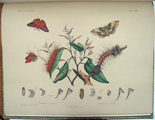 butterfly lithograph