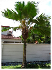 Flowering Pritchardia pacifica (Fiji/Pacific Fan Palm) in our neighbourhood, March 27 2011