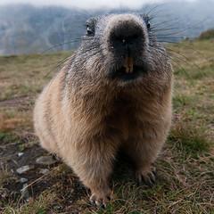 punxsutawney phil (ewaldmario) Tags: animal closeup mammal nose nagetier joke humor groundhog bignose marmot tier groundhogday marmotta punxsutawney murmeltier marmotte sugetier murmel specanimal spectacularanimals