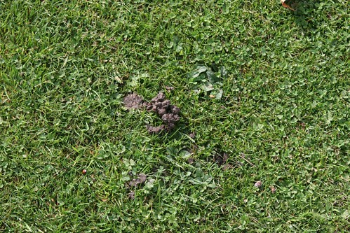 Worm castings on lawn at Down House