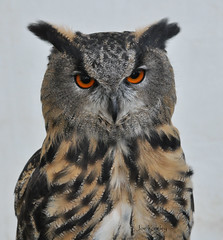 Eagle Owl (Keo6) Tags: bird owl blinkagain