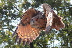 Uhu (Bubo bubo) (hellboy2503) Tags: blue nature canon tiere eagle top wildlife air natur adler photographers images gelb raptor 7d getty creatures vgel luxemburg steinadler tier vogel gettyimages uhu jrg beute jger sturzflug 100400 kreaturen beutezug gettyimagescallforartists gettyimagesartistpicks dblringexcellence hellboy2503