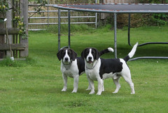 The Crazies (kballuk) Tags: dog beagle mutt devon spaniel