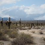 """Candelabra Cactus <a style=""""margin-left:10px; font-size:0.8em;"""" href=""""http://www.flickr.com/photos/14315427@N00/6189392083/"""" target=""""_blank"""">@flickr</a>"""