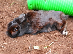 Sooty: Netherland dwarf rabbit (Ambersky235) Tags: rabbit netherlanddwarfrabbit