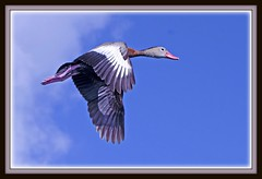 Whistler Fly By (billkominsky ) Tags: black green bird nature birds whistler duck wildlife wetlands cay bellied naturesfinest colorsoftheheart