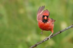 _53F5795 Northern  Cardinal (~ Michaela Sagatova ~) Tags: bird nature dundas cardinaliscardinalis northerncardinal birdphotography michaelafotheringham michaelasagatova