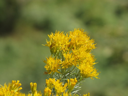 IMG_3195_Yellow_Flowers_at_Rifle_Falls