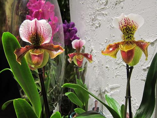Orkideat näyteikkunassa by Anna Amnell
