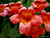 Spring in March (NTFlicker) Tags: austin ladybirdjohnsonwildflowercenter nikoncoolpix8800 orangeredflowers