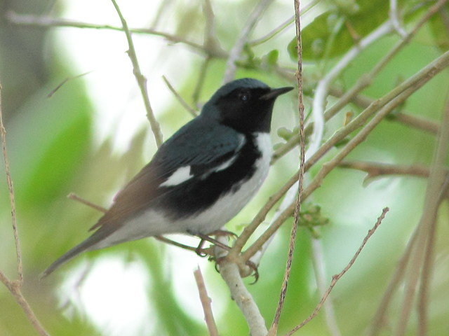 Black-throated Blue Warbler 2-20110930