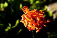 The Beauty In This World Is The Things That Stands Out From The Rest (OdaKarlsen) Tags: flower nature strange beautiful blossom curly orangeflower bloom curl funnyflower