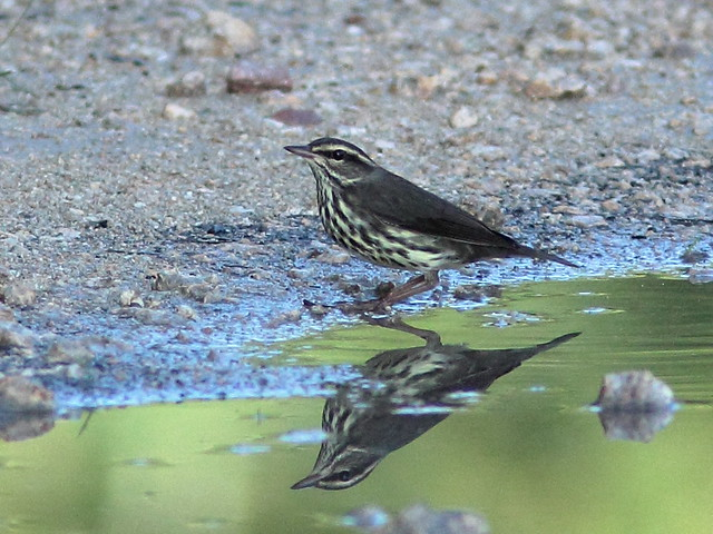 Northern Waterthrush 20111001
