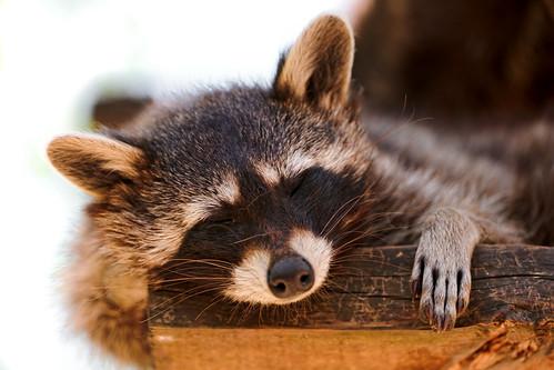 [フリー画像] 動物, 哺乳類, アライグマ, 寝顔・寝ている, 201110031100