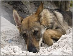 bb (cynbb) Tags: dog chien white animal puppy wolf sable olympus loup cynthia blanc chio e510 canin