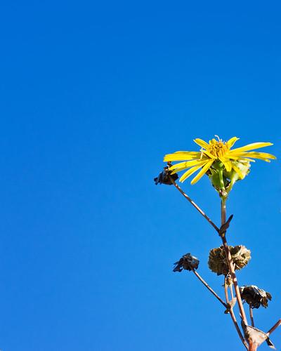 Sunflower alone