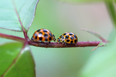ladybugs confrontation