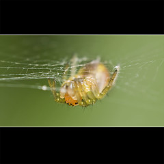 Long Way Down... (Johan J.Ingles-Le Nobel) Tags: orange yellow insect spider insects extrememacro elnikkor johanjingleslenobel reversedlensphoto insectfieldmacro