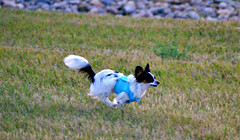 Maxx running (Pappup2010) Tags: dog pet white black cute animal puppy small tan ears canine running papillon tricolor pup pap toybreed  butterflydog