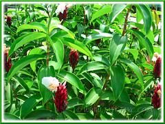 Flowering Cheilocostus speciosus, syn: Costus speciosus (Crepe Ginger, White Costus, Cane Reed, Spiral Flag)