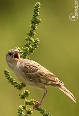 Scream (Faisal Alzeer) Tags: bird birds photography nikon arabia riyadh faisal ksa saudia         nikkor300mm     fnz  d300s  alzeer fzp  abonasser