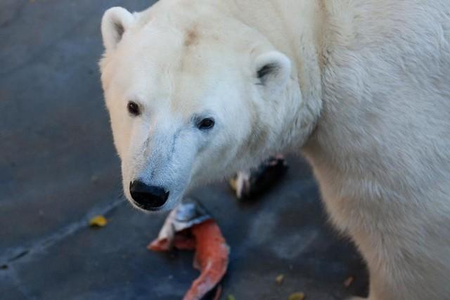 Белые медведи поедают рыбу в зоопарке Праги