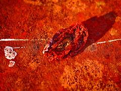 - Apple of Paradise - Hommage a Friedemann der Teppichweber - Mirror Ground Spiegel Grund am Steinhof (hedbavny) Tags: vienna wien shadow red stilllife orange sun sunlight macro rot art texture crimson yellow tomato rouge gold austria mirror sterreich paradise outsiderart purple decay infinity spiegel kunst magenta rusty stilleben shangrila gelb mementomori mold transition decomposition makro rost rosso tomate corrosion rostig vanitas macrolens vergnglichkeit paradies schimmel korrosion verfall unendlich purpur naturezamorta endlos textur friedemann verwandlung vertrocknet getrocknet schimmelpilz paradiesapfel paradeiser purpure aktionismus solanumlycopersicum eingetrocknet cmwdred appleofparadise transitio rotrossorougerood dehumidified friedemann1 friedemannderteppichweber hedbavny friedemannhoflehner ingridhedbavny