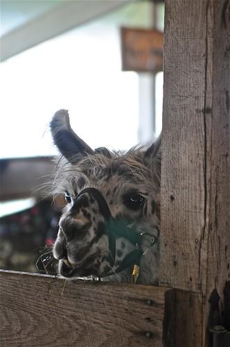 naughty llama