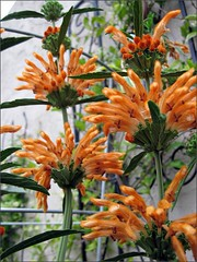 Lion's Tail flowers