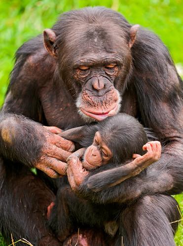 無料写真素材, 動物 , 猿・サル, チンパンジー, 動物  親子