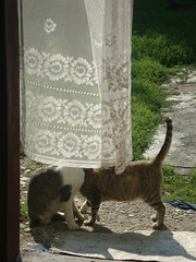 Perdea n soare (capsunica.) Tags: cats country gatti lacecurtains catskissing ara pisice