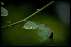 Drop-the-let (Ashok A Menon) Tags: green water rain droplet chengannur nikond200 ashokamenon