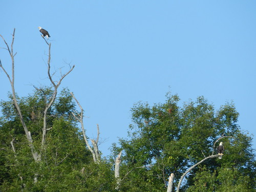 Bald Eagle pair at East Fork