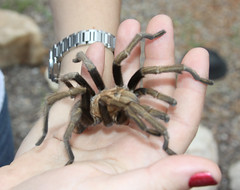 Tarantula Spider-Arizona by Beckwith-Zink (Diane), on Flickr