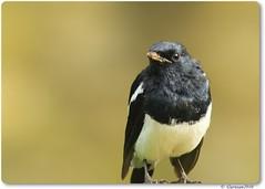 Magpie Robin (Gurusan2010) Tags: male copsychussaularis magpierobin