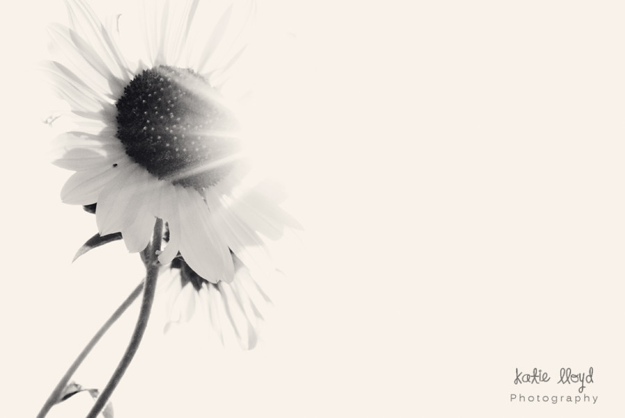 bw-sunflower