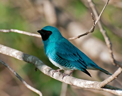 [フリー画像] 動物, 鳥類, ツバメフウキンチョウ, 201109190500