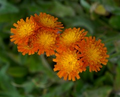 Pilosella aurantiaca: Fox and Cubs (sfb_dot_com) Tags: flowers autumn hairy orange europe alpine lc grassland herb asteraceae perennial florets dicot herbaceous temperate rhizomatous cooltemperate afmicronikkor60mmf28 capitula clumpforming seuropean