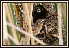 """4-Unos le llaman el demonito, otros el trabajador, otros el constructor y yo prefiero llamarlo """"El enanito reparador de suenos"""".No tengo dudas,es el avecilla mas dificil de capturar de todo Chile!!Trabajador-Phleocryptes melanops-Wren-like rushbird. Chile (Cimarrn Mayor !!!6,000.000 DE VISITAS, GRACIAS!!) Tags: chile naturaleza bird fauna ave libre oiseaux montaas panta t"""
