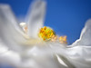 ethereal anemone (Celeste M (more off than on)) Tags: sky white yellow flora anemone doublefantasy shootingthrough oracope floralfantasy12