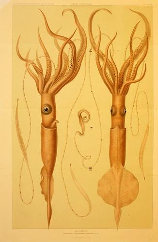 019-Die Cephalopoden 1910- Carl Chun